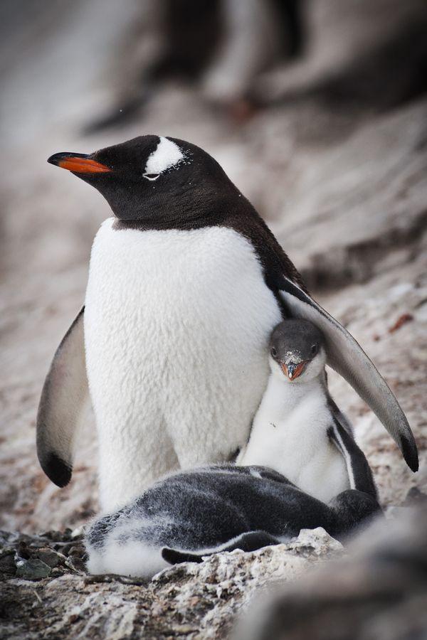 Gentoo penguin mother and chick in antarctica.