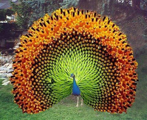 """⭐""""Indian Peacock.""""⭐It's too beautiful not to share!"""