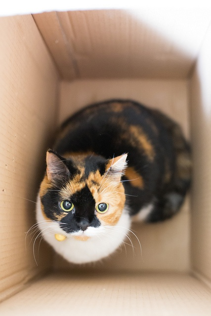 How Do I Know What Breed My Calico Cat Is