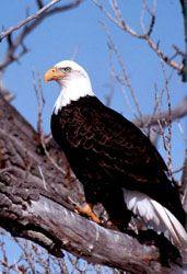Bald Eagle Facts For Kids | Bald Eagle Diet | Bald Eagle Habitat