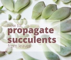 How to Propagate Succulents from Leaves... I'm addicted!