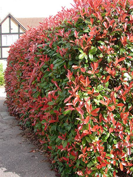 Buy photinia Photinia × fraseri 'Red Robin': Delivery by Waitrose Garden in association with Crocus