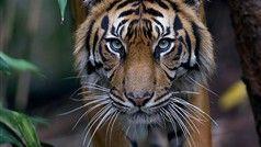 tiger at Melbourne Zoo - must go here next time I visit Melbourne