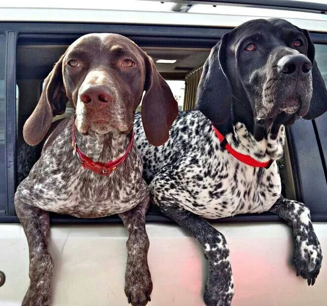 Found together and ready for adoption. GSP