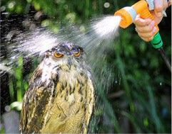 Following extremely hot weather experienced in Southern England here is Billy, a 16-year-old Eagle Owl, based in Hampshire, being sprayed with water from a hose to keep cool.    The funny owl picture to the right shows Billy's expression at being sprayed.