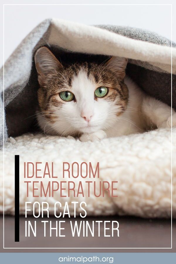 Ideal Room Temperature For Cats In The Winter In 2020 Cats Large Cat Breeds Winter Cat