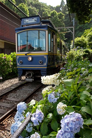 Enoden (Enoshima Railway) and hydrangea in Kamakura, Japan 江ノ島電鉄