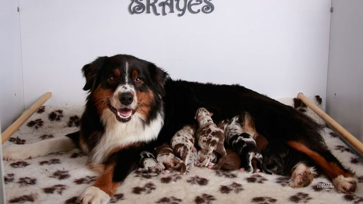 Puppies 2 Weeks | Australian Shepherds | Skaye's Holiday Litter