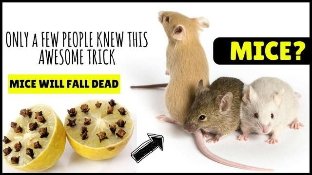 Rid Of Mice In Walls And Ceilings