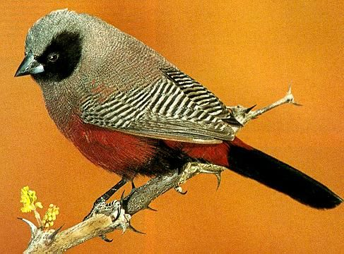 Black Cheeked Waxbill, Black-faced Waxbill