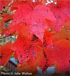 "Red Sunset Maple - Acer rubrum ""Franksred"" 16.50"