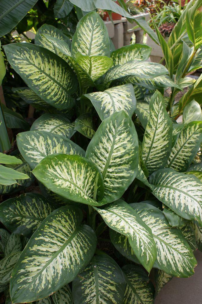 7 best dieffenbachia images on pinterest botanical for Planta ornamental venenosa dieffenbachia
