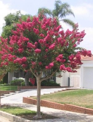 How to Properly Prune Your Crape Myrtle for a Single Stem, Multi Stem or Natural Look.