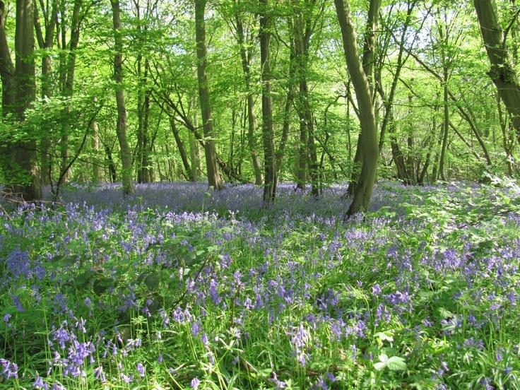 bluebells in spring - Blakes Wood Danbury Essex