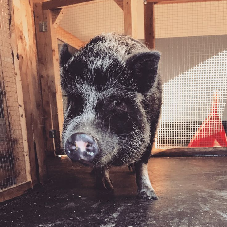Elsa, purebred Juliana mini pig. Canadian breeder www.