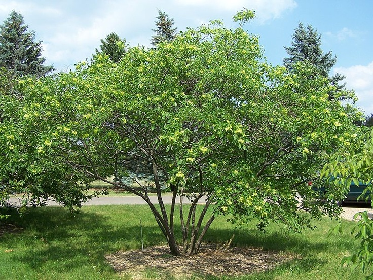 Fresh Ptelea trifoliata Wafer Ash or Hop Tree Honey plant and swallowtail host plant