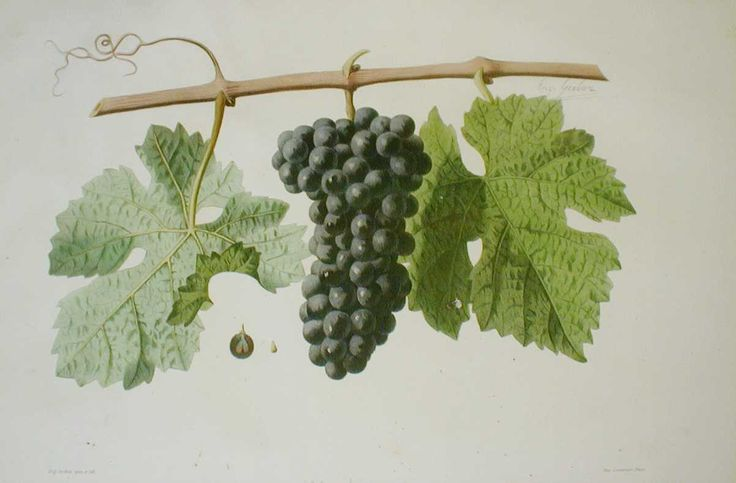 Cabernet sauvignon from 'Ampélographie française', by Victor Rendu. Paris, 1857. Ampelographies describe and often illustrate grape varieties. The hand-coloured lithographs of Eugene Grobon make this book possibly the most prized of the great ampelographies of the nineteenth and early twentieth centuries.