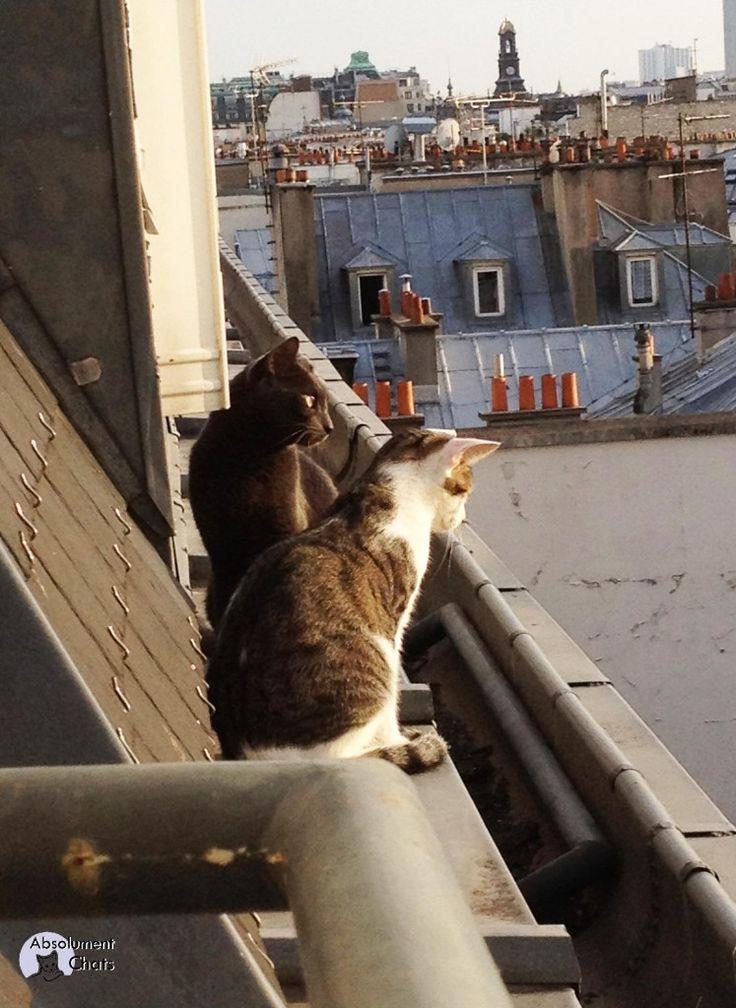 chats sur les toits - Absolument Chats