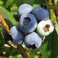 Earliblue Blueberry