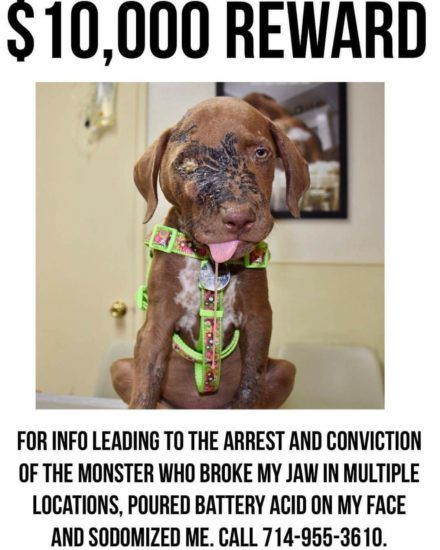 The Animal Hope & Wellness Foundation is offering a $10,000 reward for information leading to the arrest and conviction of the person responsible for the egregious abuse of a six-month-old Labrador/pit bull mix puppy. The puppy, now named Riley, was found by a woman on August 9 in the parking lot of Monterey Elementary School …