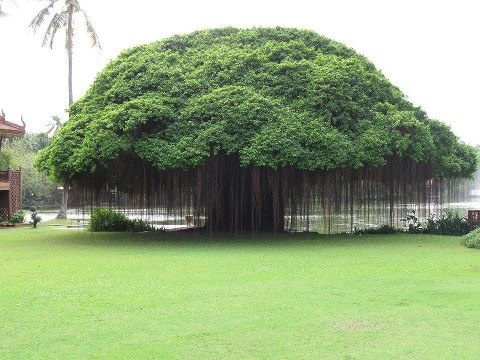 It is a banyon tree and the tendrils you see hanging down will anchor into the ground and become stronger and thicker.