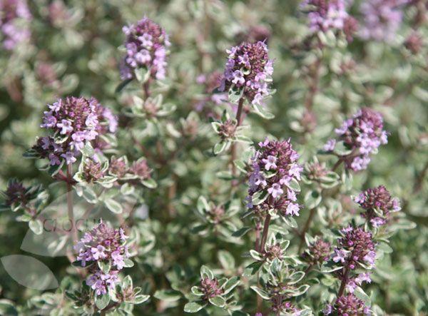 Scent/Taste: Thymus vulgaris Silver Posie