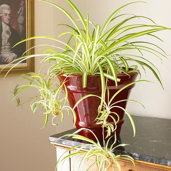 Spider Plant   Look for a number of varieties -- from types with plain green leaves to others that offer foliage marked with cream or white stripes. These babies readily root in water or potting soil to start new plants.  Name: Chlorophytum comosum 'Vittatum'  Growing Conditions: Medium to bright light; 60-75 degrees F.; keep the soil evenly moist  Size: To 1 foot tall and 2 feet wide