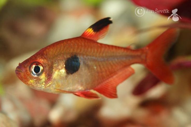 Red Phantom Tetra (Megalamphodus Sweglesi) - Adult size: 1.5 inches ...
