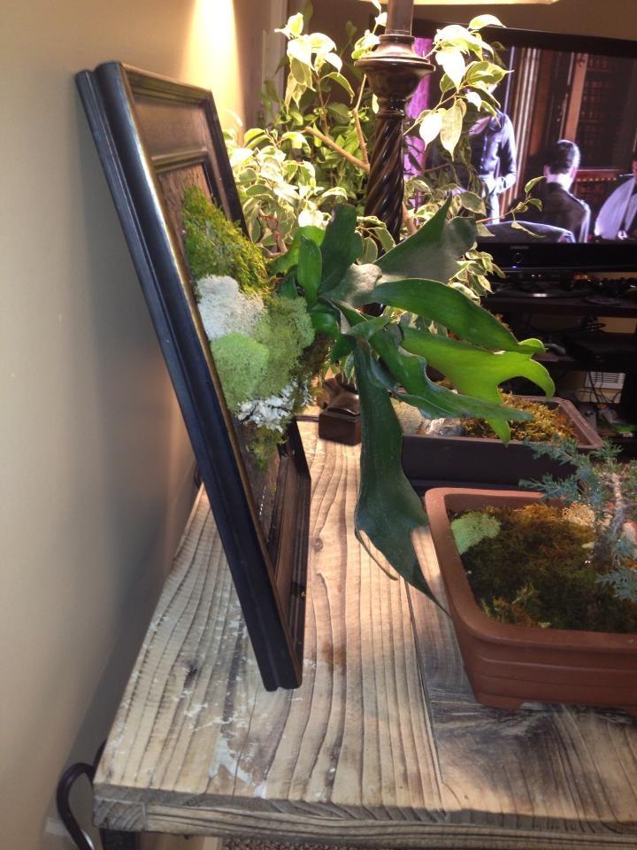 Frame mounted staghorn fern.