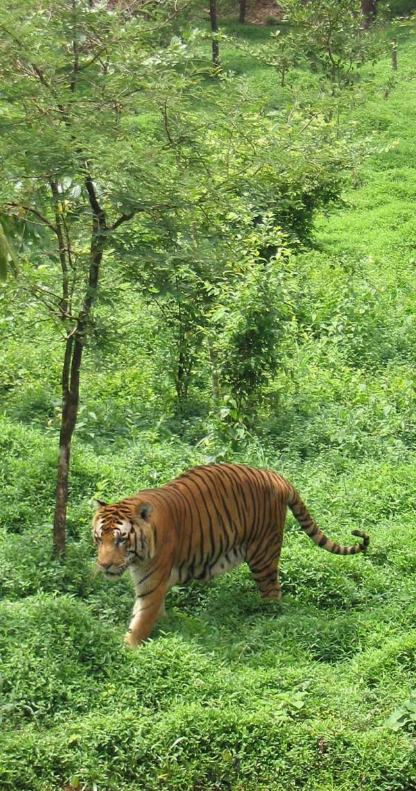 Royal Bengal Tiger at the Pilikula Nisarga Dhama, Mangalore.