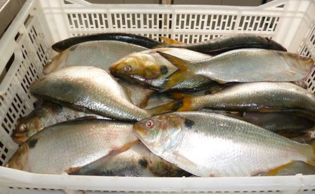 Brazilian menhaden seafood offer we are direct exporters for Menhaden fish meal