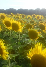 Sunflowers in the early evening in summer in the Loire Valley, France