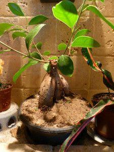 25+ Melhores Ideias Sobre Ginseng Bonsai No Pinterest | Árvores ... Ficus Ginseng Bonsai Einpflanzen Tipps