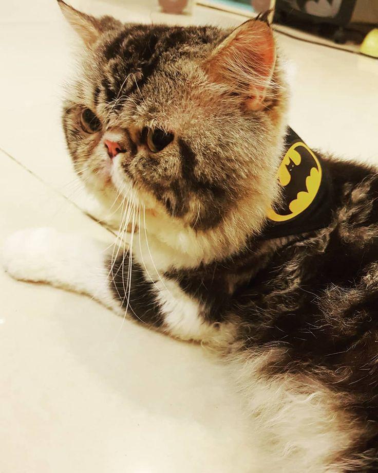 ข าค อ แบทแมน แมว แมวเปอร เซ ย Catofday Catsweeteyes Cats Pets Petstagram Animals Cats