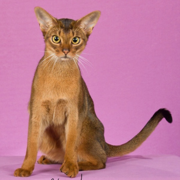 8 month Abyssinian Hobie cat!!
