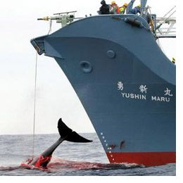 japanese whale research papers Japan has killed 333 minke whales—including more than 200 pregnant females—as part of this year's antarctic whale hunt, according to the country's institute for cetacean research on .