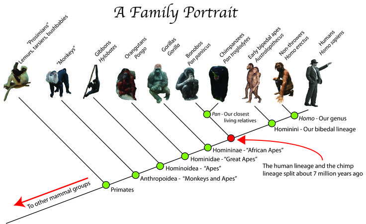 human evolutionary tree - Google Search | Human Evolution ...