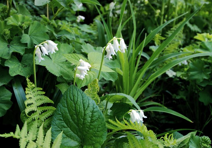 White Hyacinthoides in flower bed