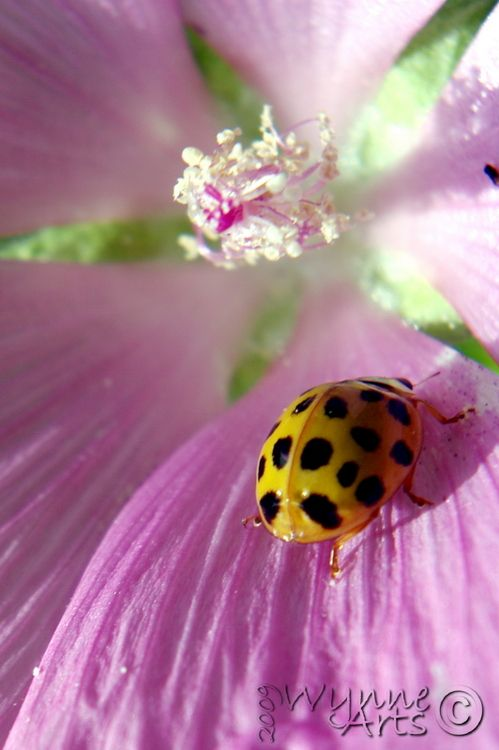 Yellow lady bugGod Creations, Yellow Ladybugs, Pink Flower, Ladybird Beetles, Macro Photography, Lady Beetles, Lady Bugs, Summer Flower, Purple Flower