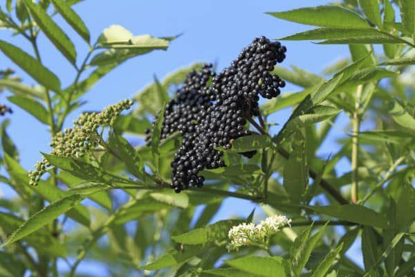 Czarny Bez Przepisy Elderberry Plant Elderberry Bush Elderberry Varieties