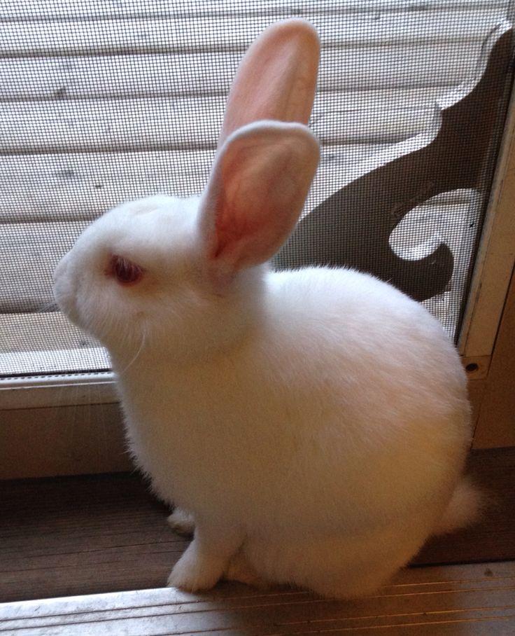 Baby Bobbie NZ white rabbit