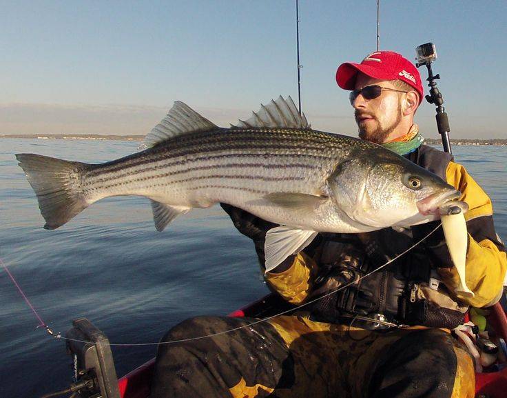 35 best striped bass images on pinterest bass fishing for Striped bass fishing tips