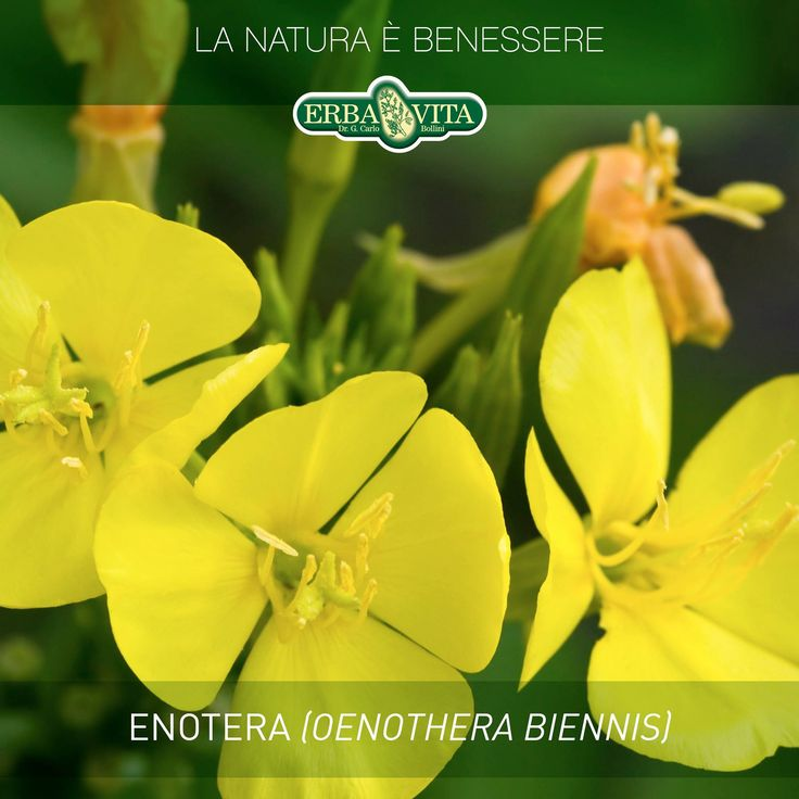 #ENOTERA - Pianta originaria dell'America settentrionale, fu introdotta in Europa all'inizio del XVI secolo. Era coltivata nei giardini a scopo ornamentale e anche come ortaggio. Infatti le foglie giovani possono essere consumate in insalata.