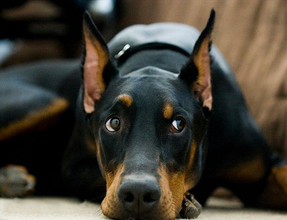 Is he going to eat that treat? #Doberman