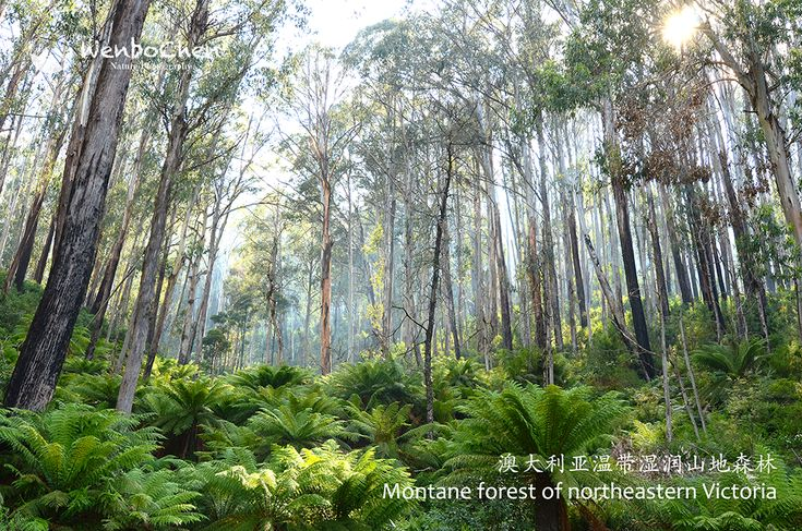 Montane forest of northeastern Victoria. The trees are mainly  Eucalyptus delegatensis and Eucalyptus cypellocarpa, and the fern is mainly Dicksonia antarctica. About 1200m, near Mt. Beauty Alpine National Park.