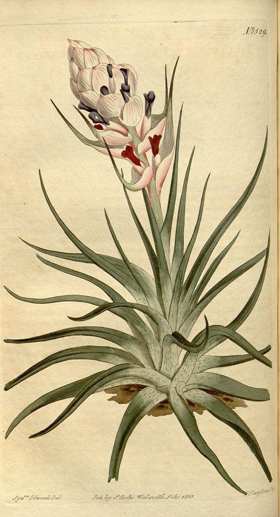 Tillandsia stricta - circa 1813