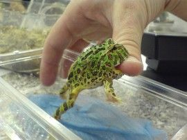 Pacman Frogs An Amphibian With Attitude Geckos And More Pacman