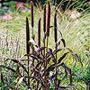 Purple Millet | 5'