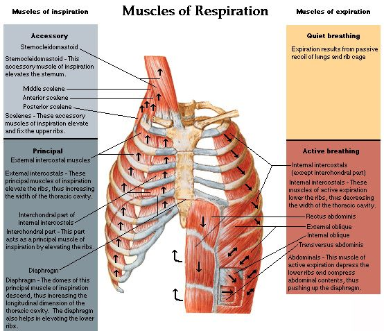 Muscles of Respiration | Speech Pathology Tons of Info ...