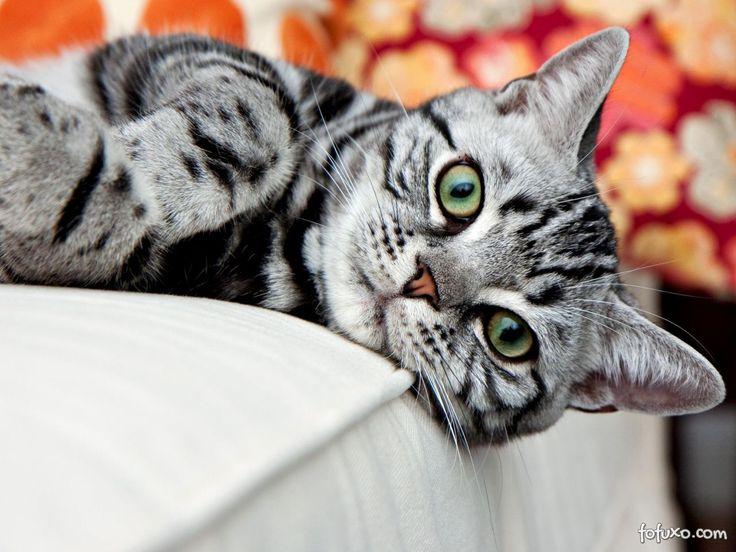 American Shorthair - Raças de Gatos